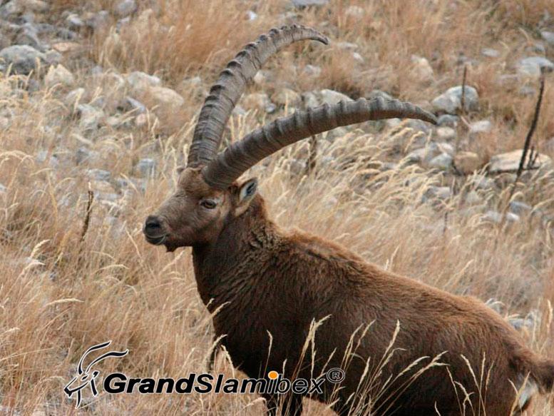 Alpine-ibex-hunting-in-Switzerland-03