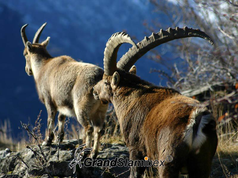 a-grand-slam-ibex-alpine-ibex-6