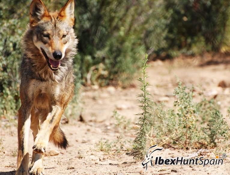 hunting-spain-grandslamibex-11