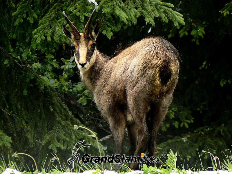 Chatreause-Chamois-hunting-in-France