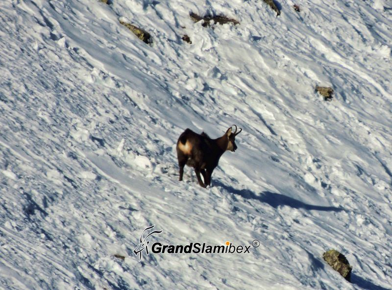 Alpine-Chamois-Hunting-in-Austria